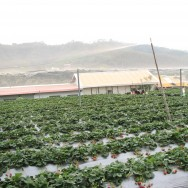 Strawberry Farm in Dahu, Taiwan