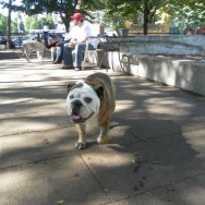 Bulldog in the Park